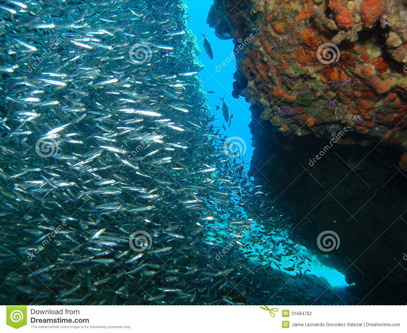 Silver fish on reef stock photography image 31684782 for Small silver fish