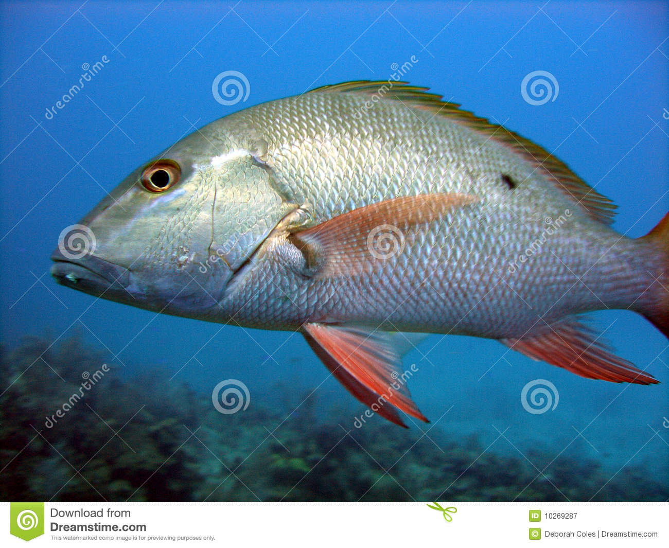 Shinny Caribbean: Silver Fish Scales Stock Image. Image Of Exotic, Reef