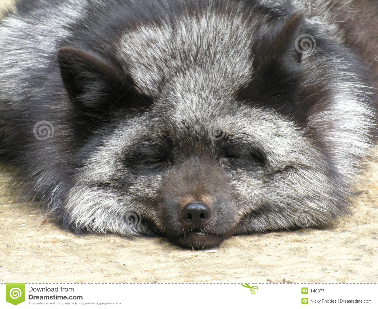 Silver Fox Royalty Free Stock Photography - Image: 140377