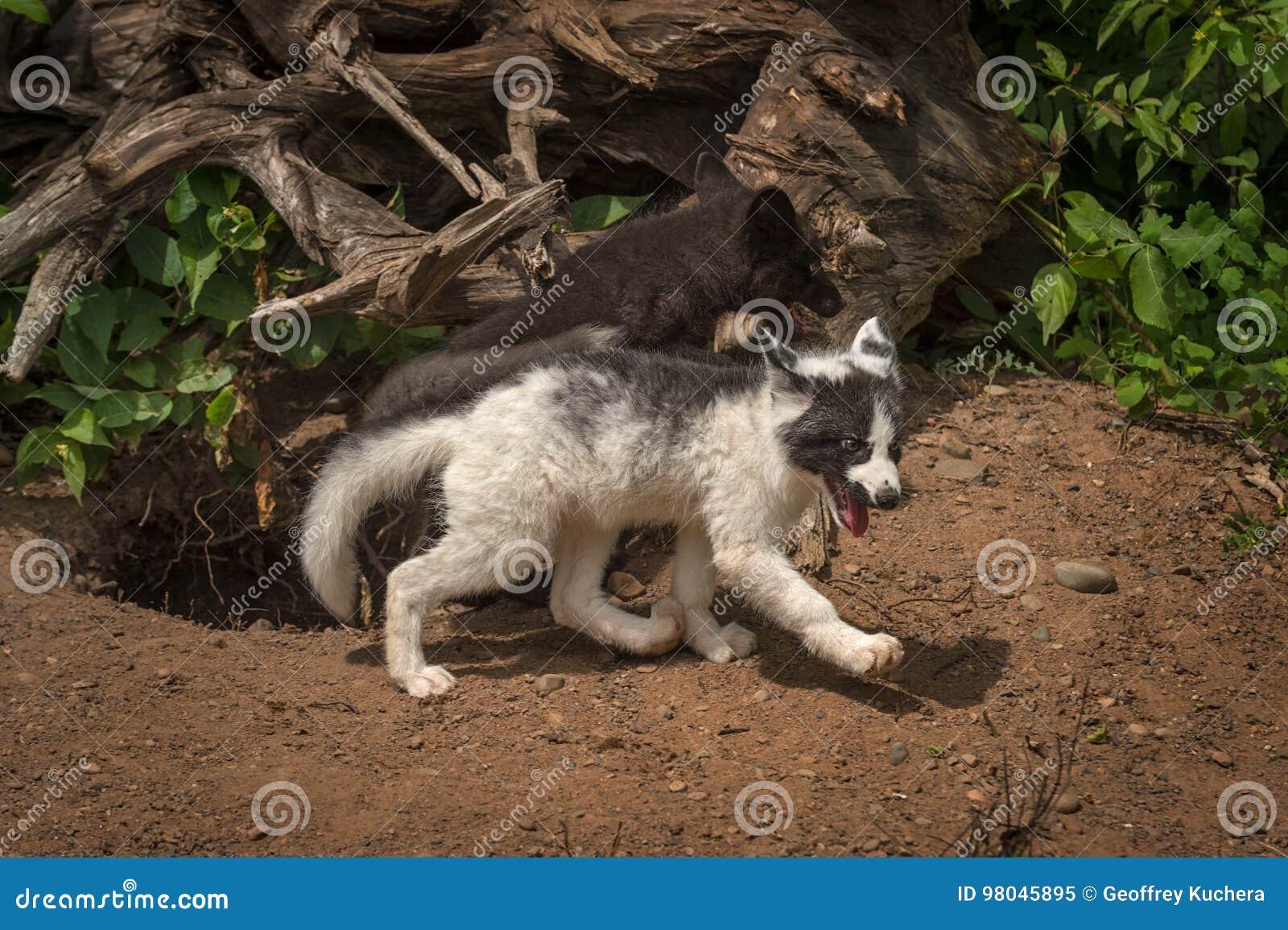 silver fox and marble fox vulpes vulpes run right stock image