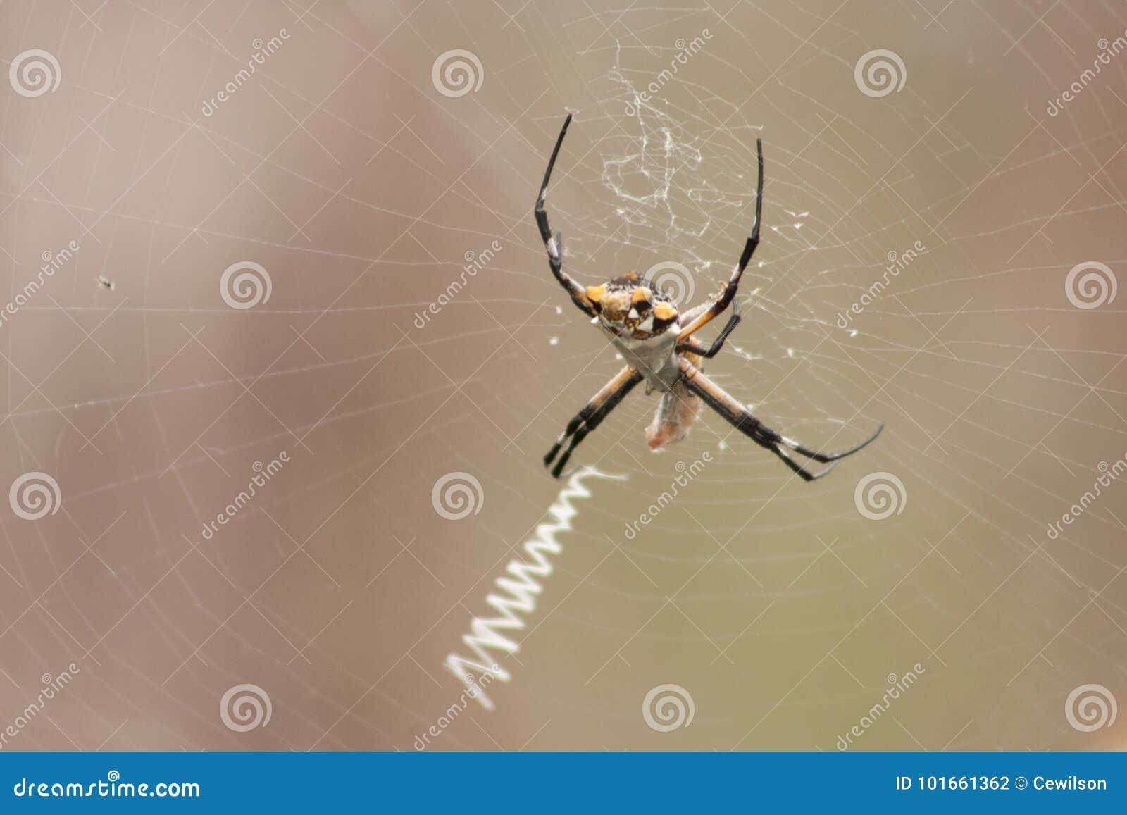 Silver Garden Spider stock photo. Image of midday, garden - 101661362