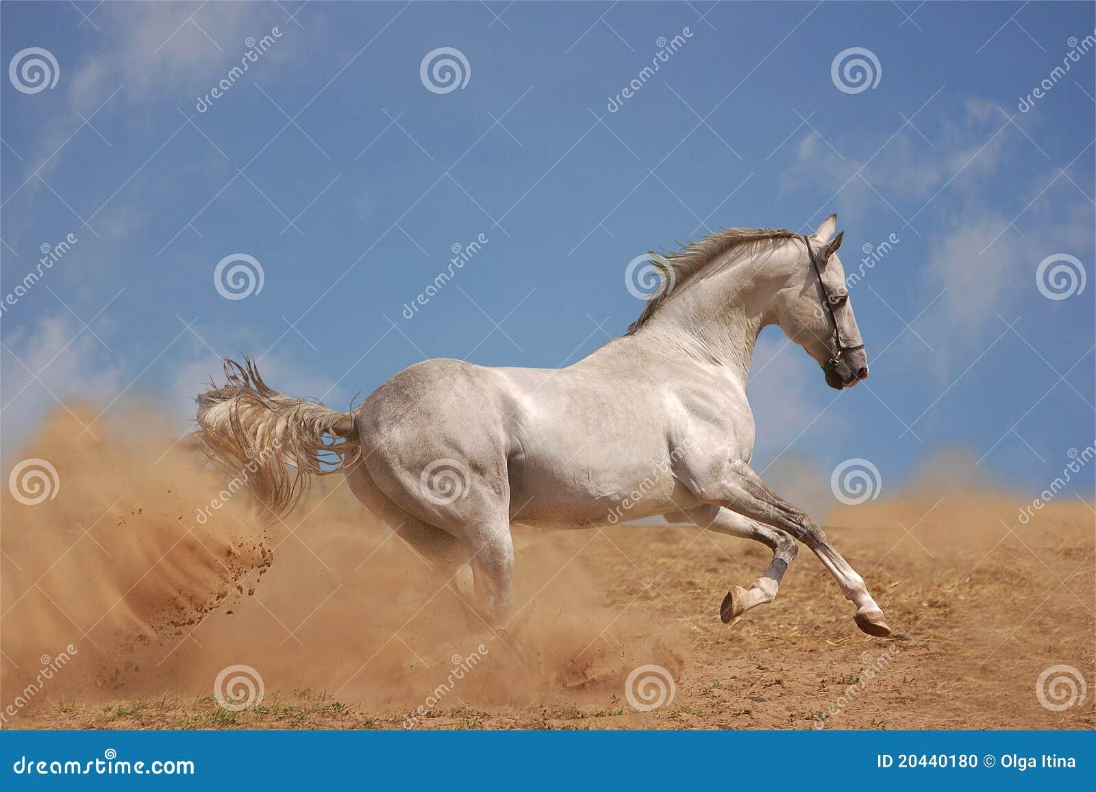 Silver grey akhal-teke horse