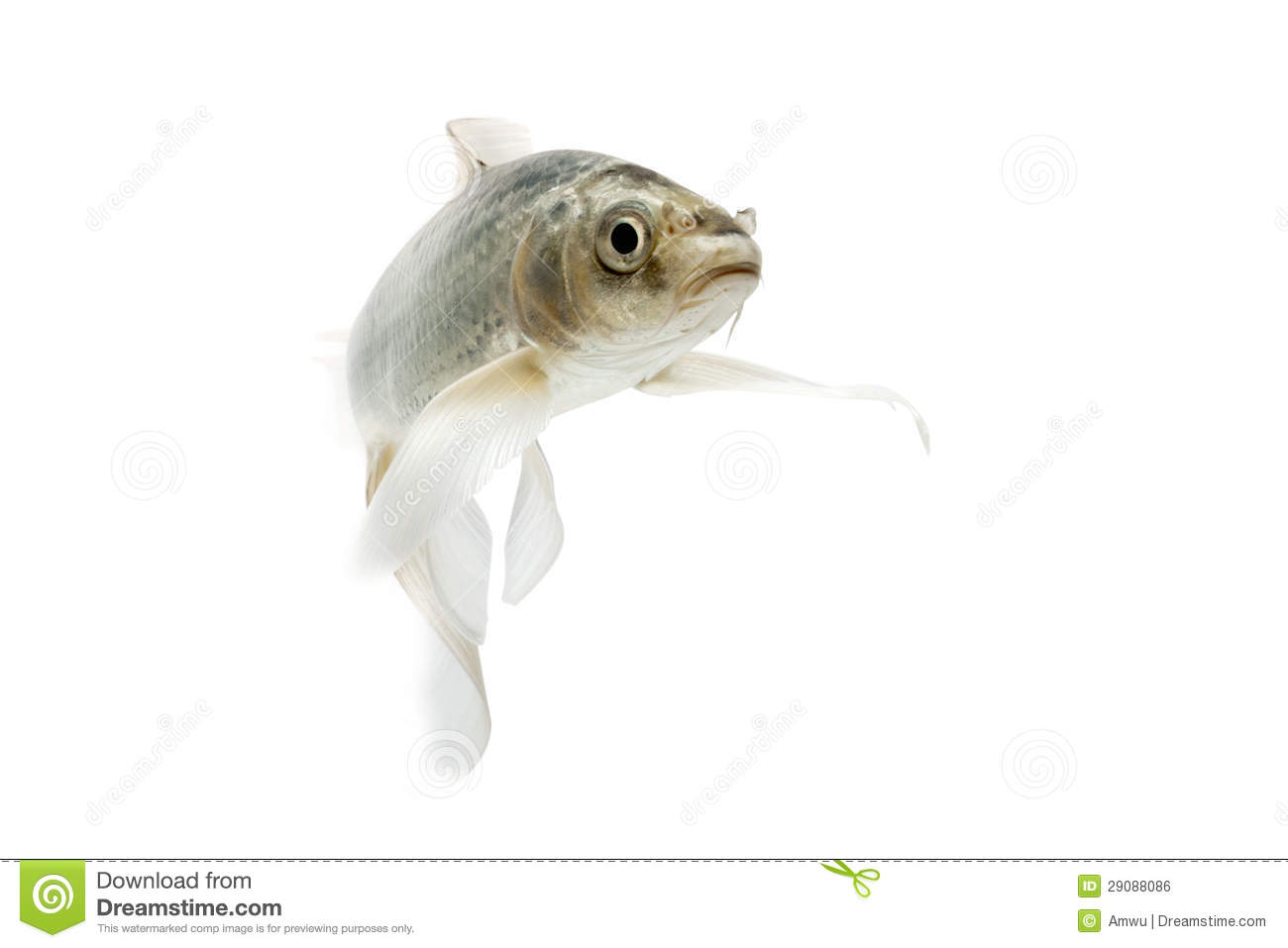 silver koi fish royalty free stock image image 29088086