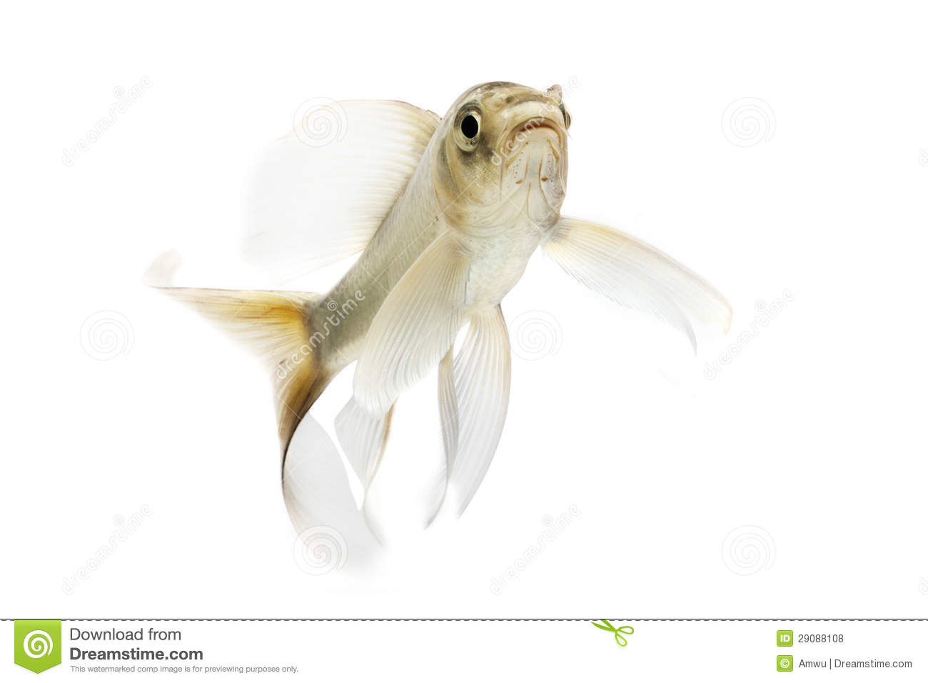 Silver koi fish royalty free stock photos image 29088108 for Silver koi fish