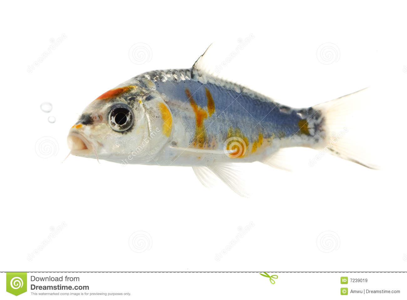Silver koi fish royalty free stock images image 7239019 for Koi fish value