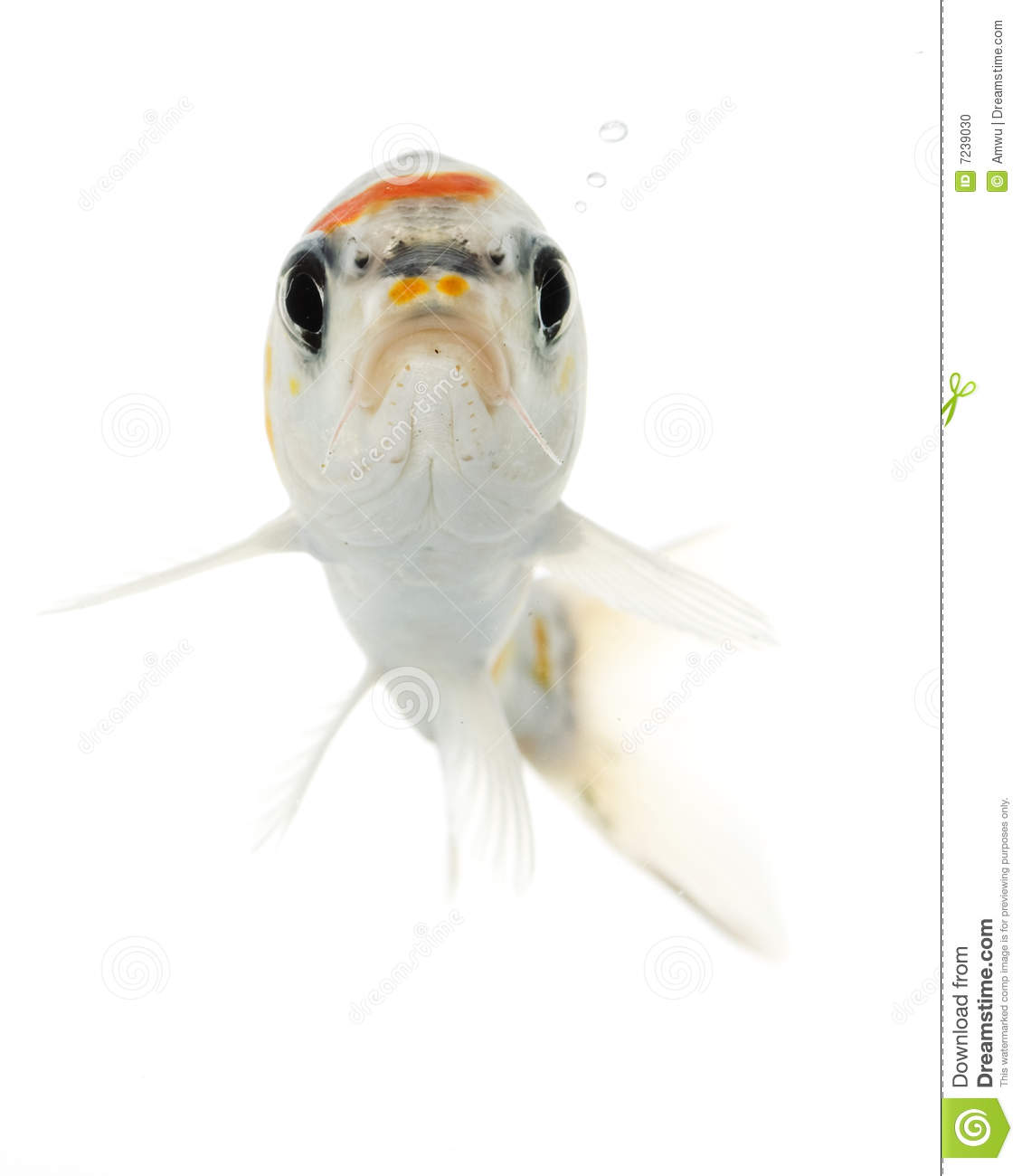 Silver koi fish stock photo image 7239030 for Silver koi fish
