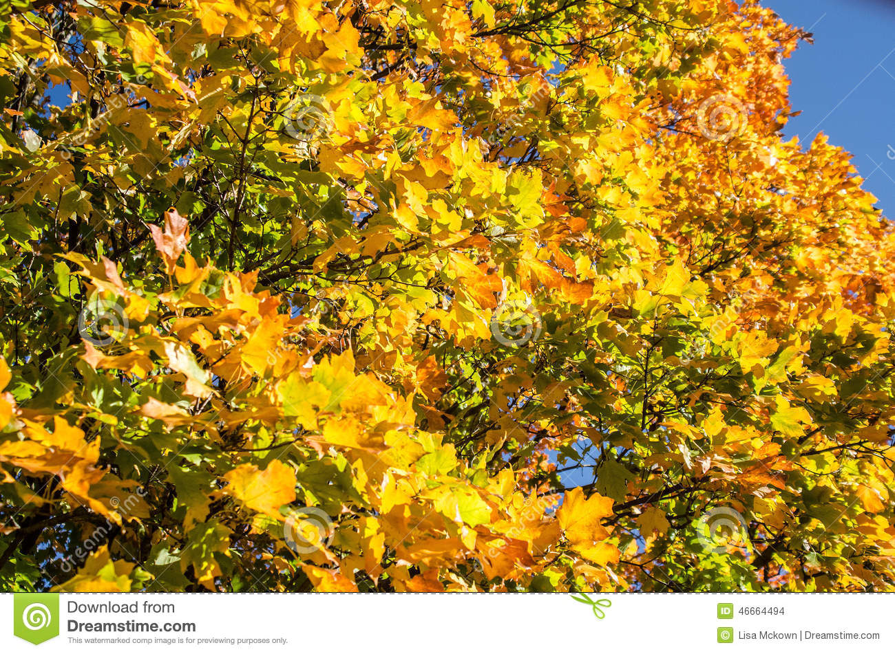 Silver Maple Tree Stock Photo. Image Of Environment, Fall