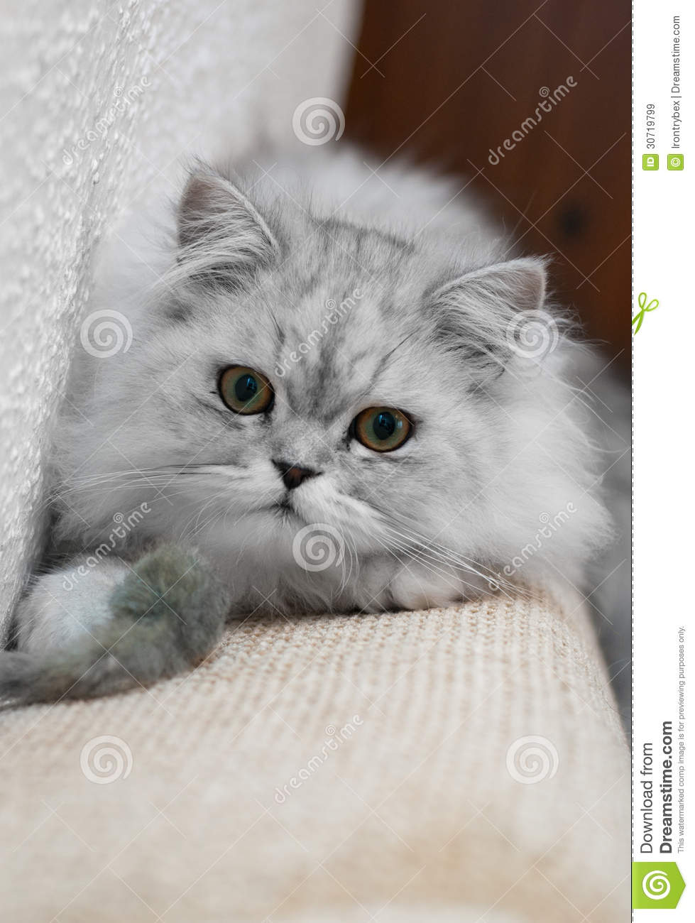 Silver Shaded Persian Stock Image Image Of Breed Indoors