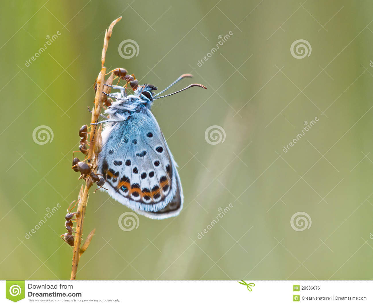 Silver Studded Blue Butterfly in symbiosis with red ant