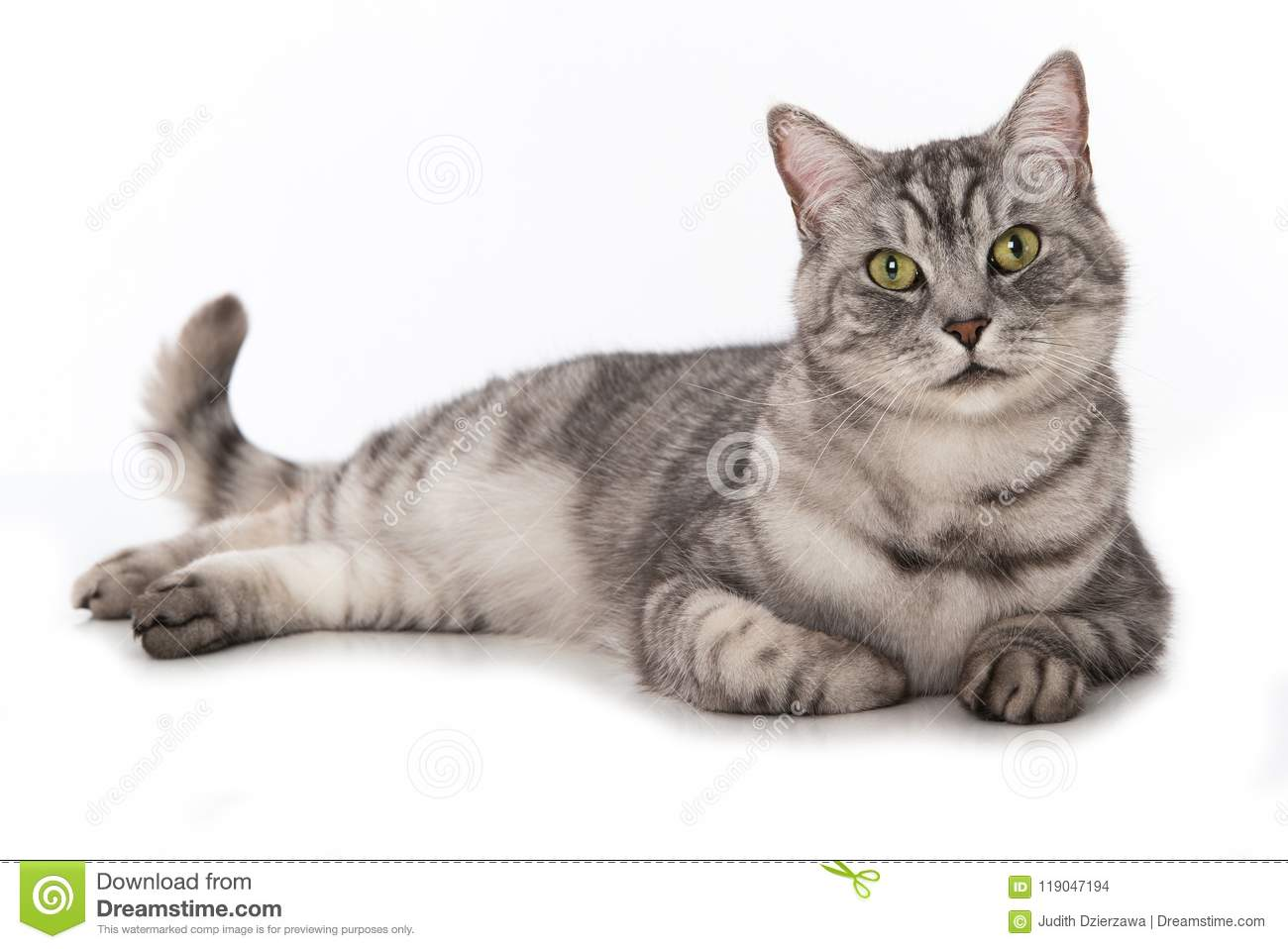 961d7118e7 Silver Tabby Cat Lying On A White Background Stock Photo - Image of ...