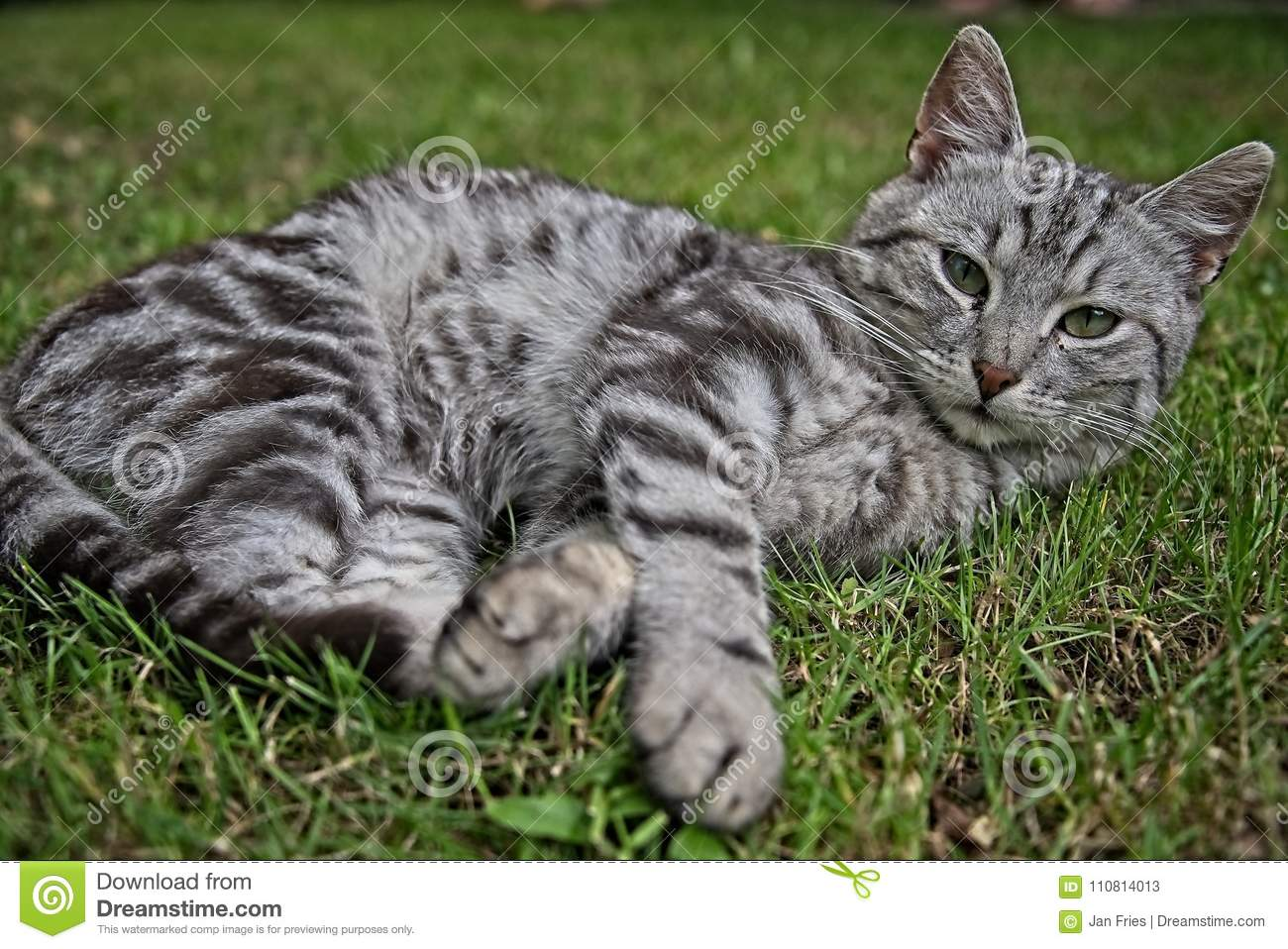 silver tabby cat stock image image of kitten nature 110814013
