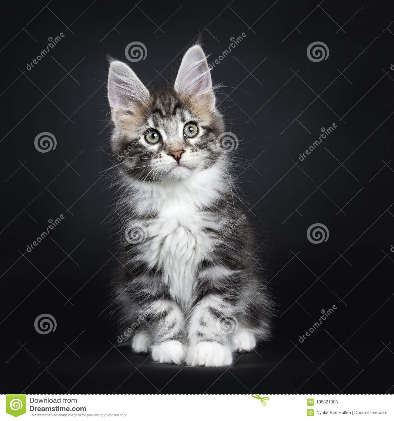 Silver Tabby Maine Coon Kitten Sitting Straight Stock Image