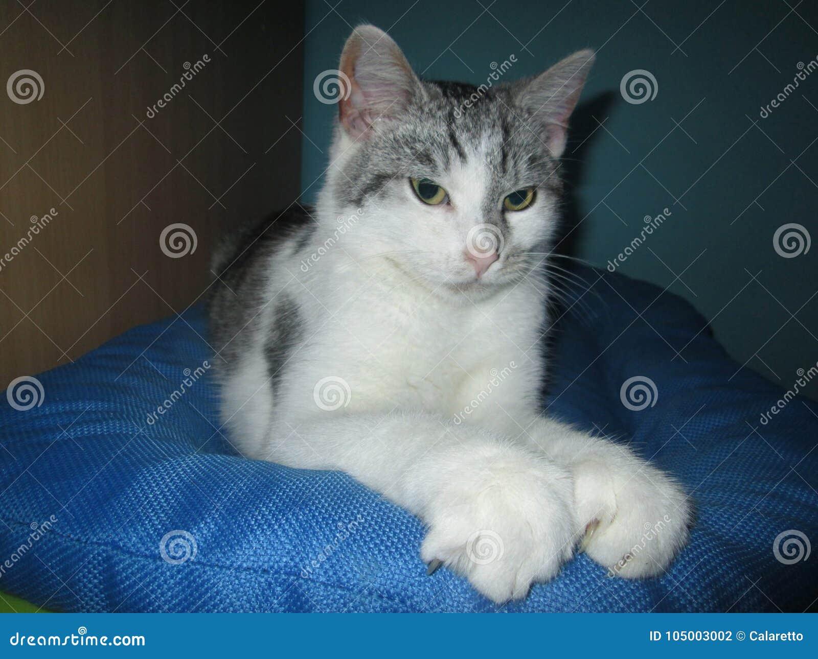 61431b87fe Silver tabby white cat stock photo. Image of whitetabby - 105003002