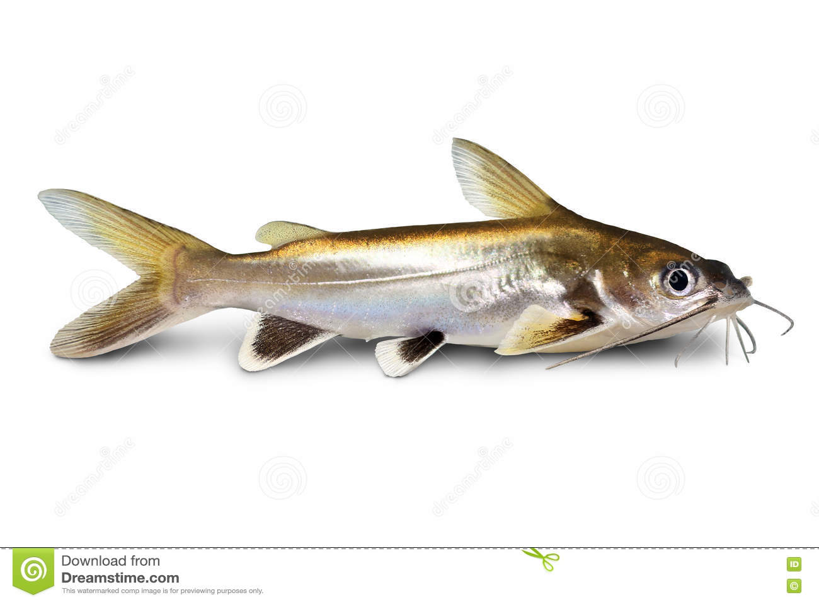 Silver Tipped Shark Catfish Ariopsis Seemanni Silver Tipped Aquarium