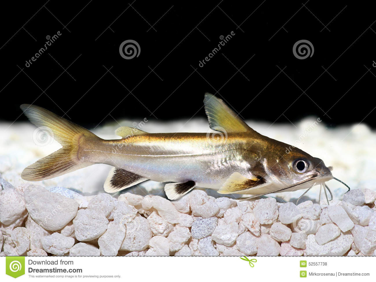 Silver Tipped Shark Catfish Ariopsis Seemanni Silver Tipped Stock