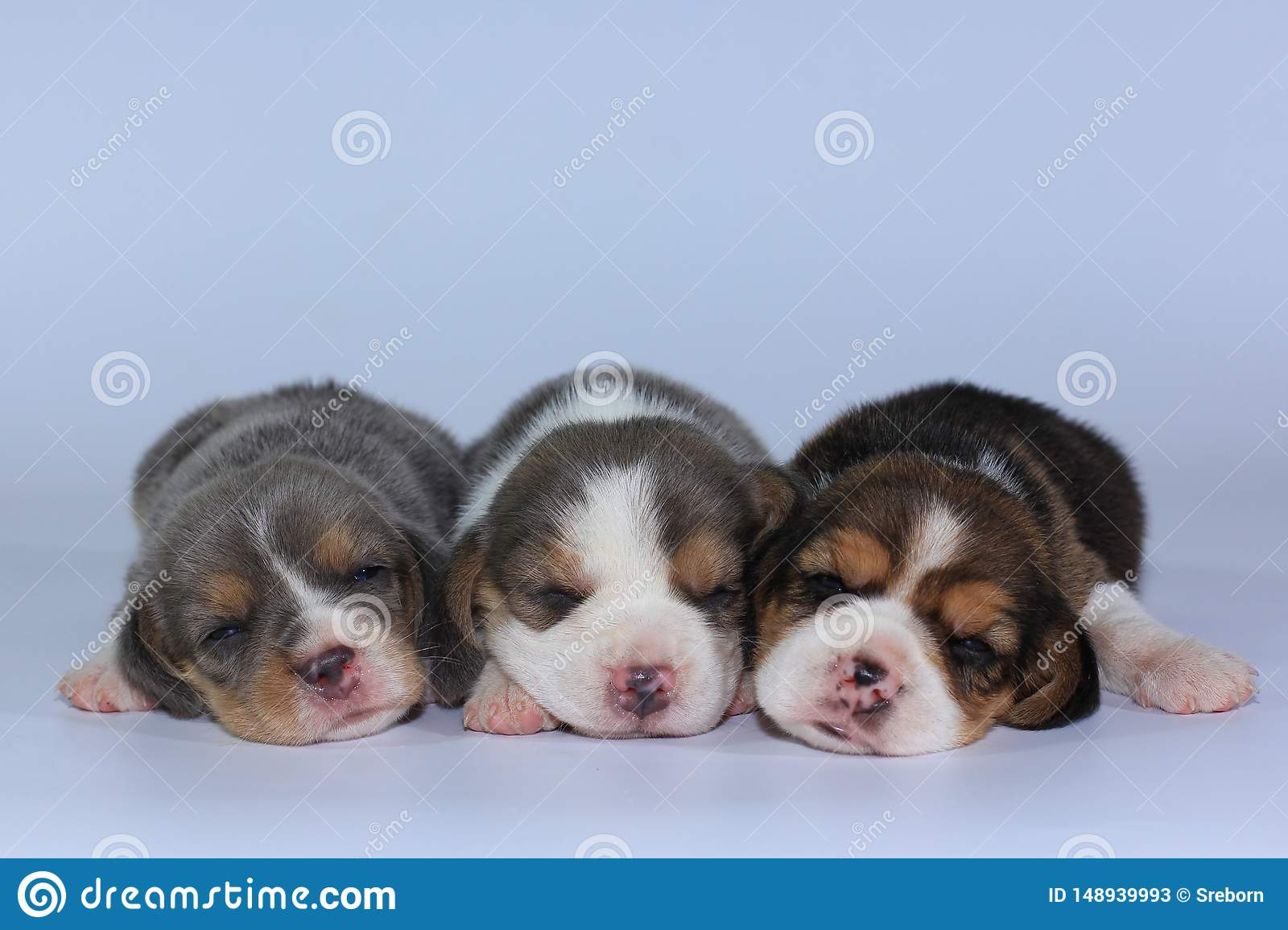 Silver Tri Color Beagle Puppy Is Sleeping And Looking In First Time Stock Image Image Of Look Resting 148939993