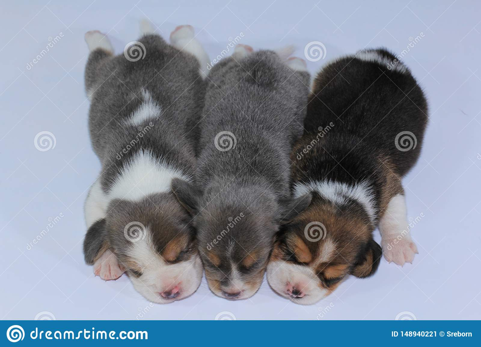 Silver Tri Color Beagle Puppy Is Sleeping And Looking In First Time Stock Image Image Of Horizontal Living 148940221