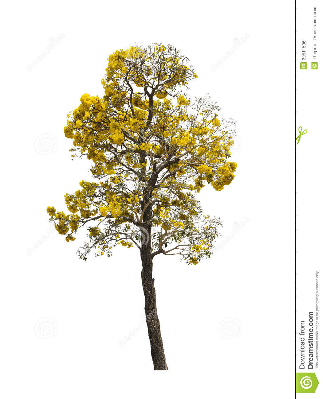 Silver trumpet tree isolated