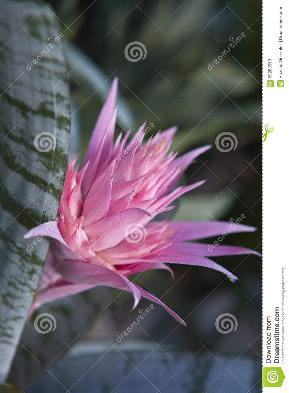Silver Vase Bromeliad Stock Photo Image 59283659