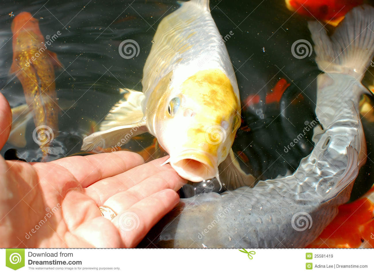 Silver and yellow koi carp royalty free stock images for Silver koi fish