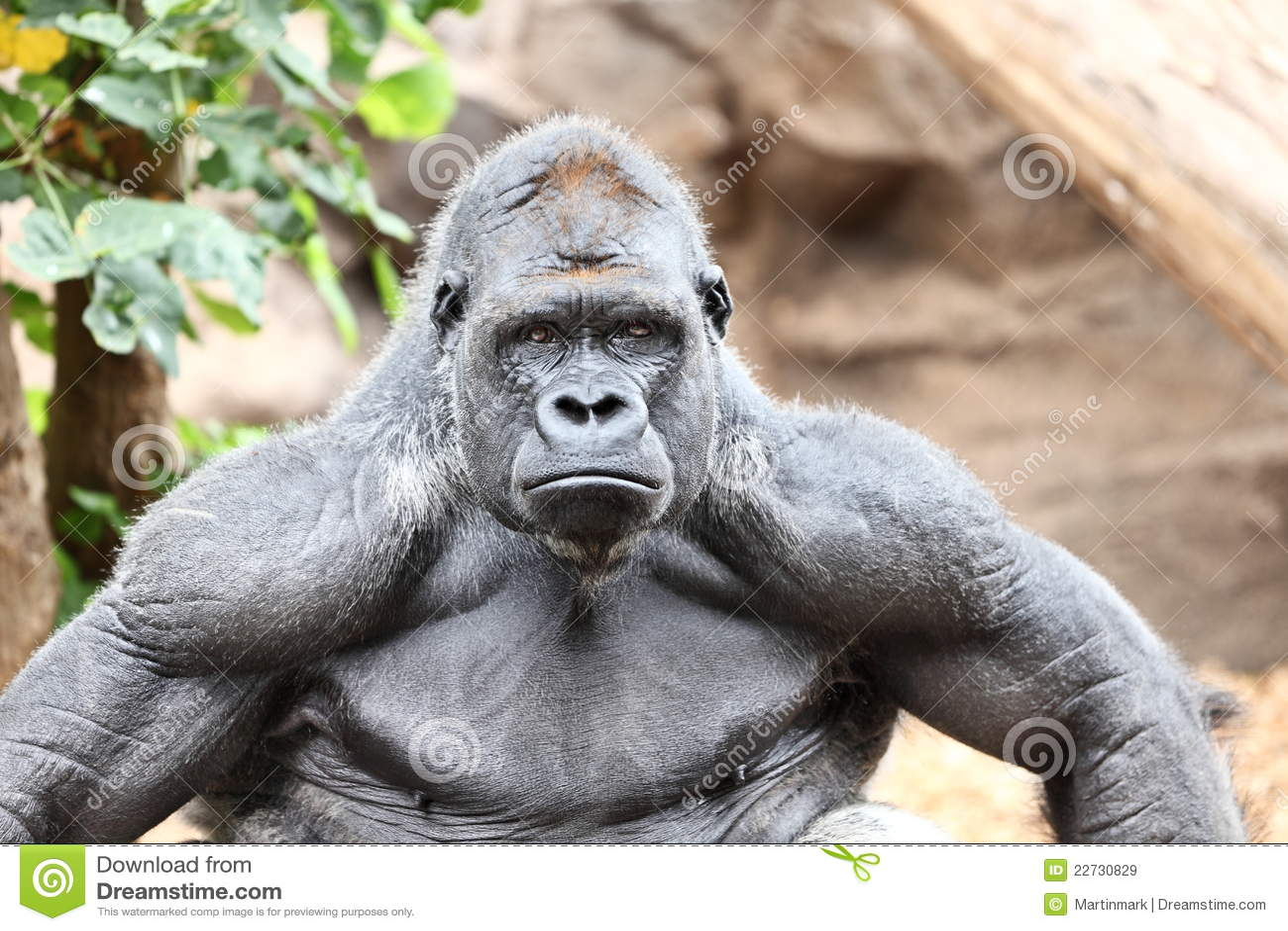 Silverback гориллы