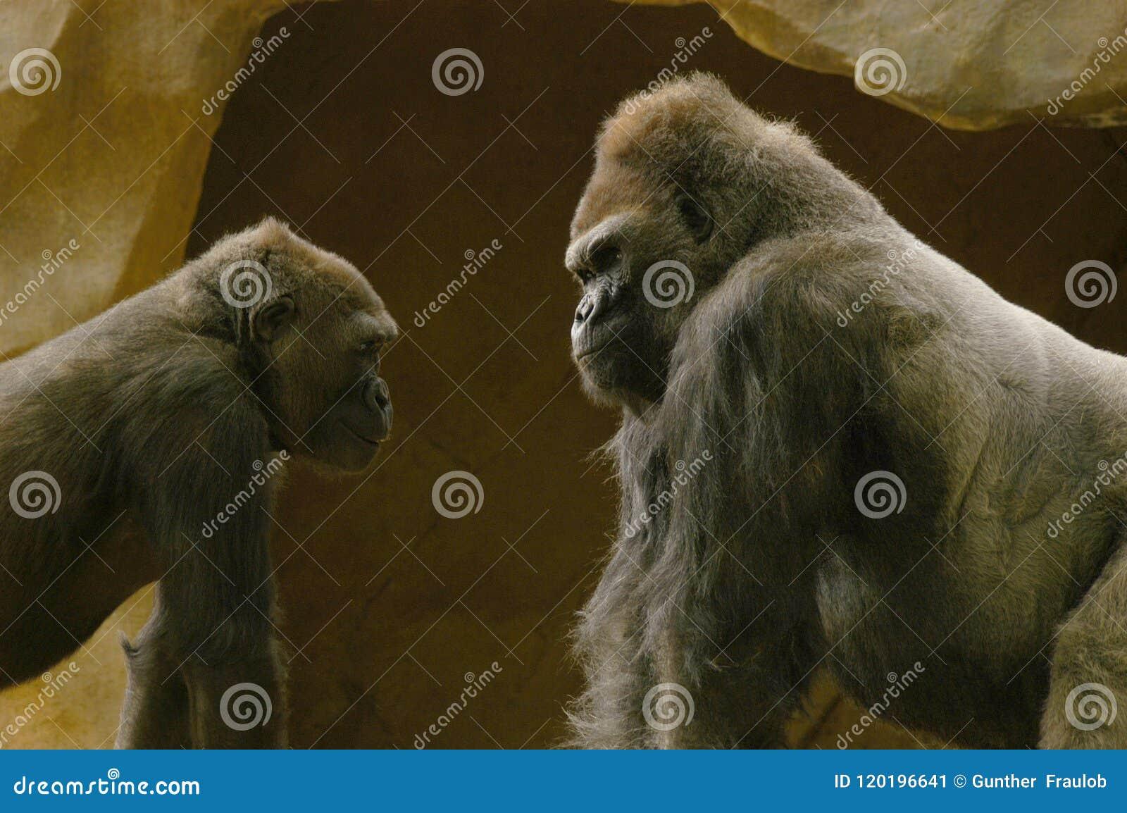 Silverback Gorilla giving a teaching moment to younger gorilla.