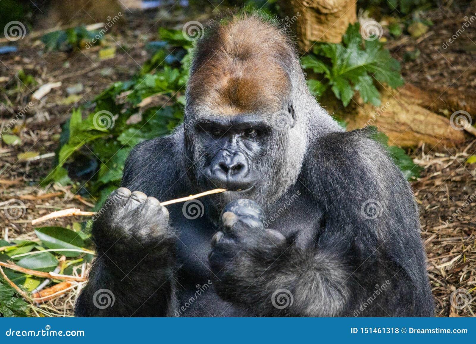 Silverbackgorilla som äter ut ur en kong