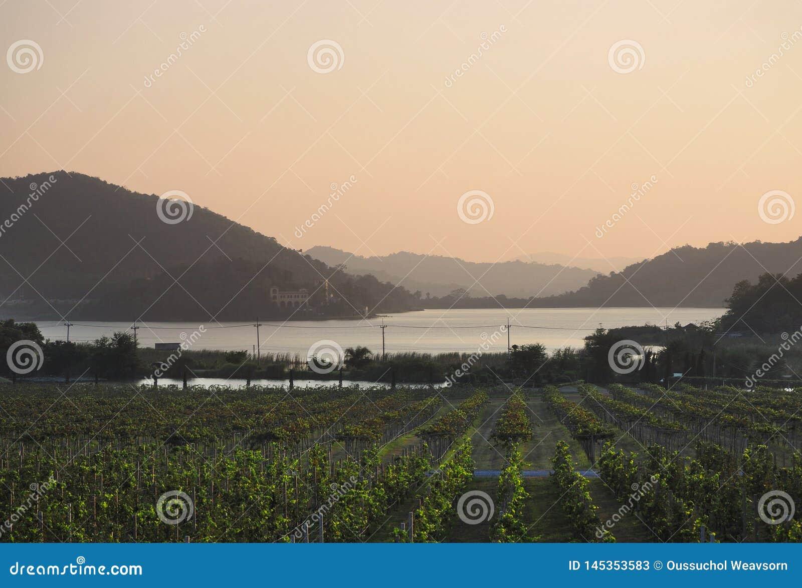 Silverlake - granja de la uva - Pattaya, Tailandia