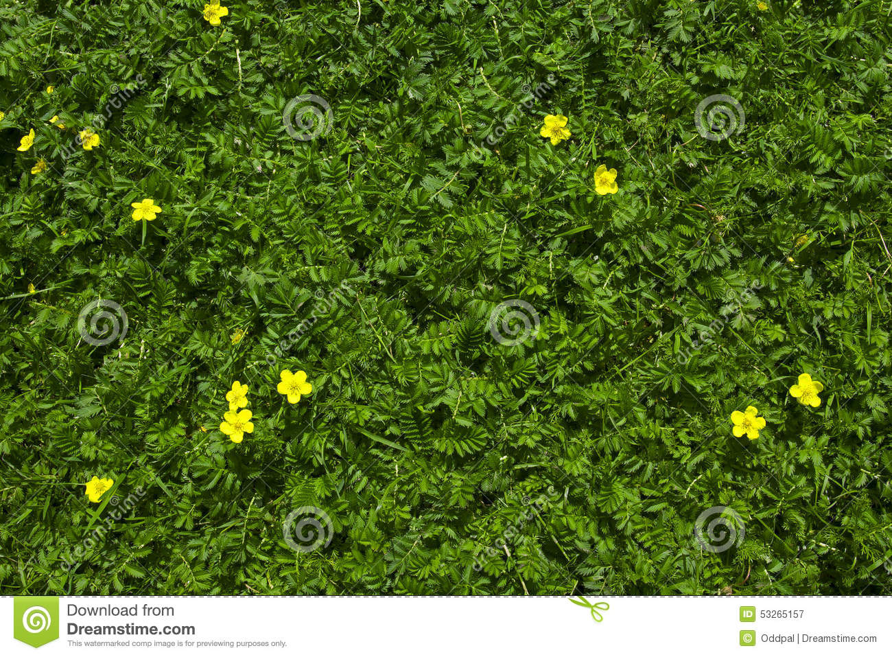 Silverweed green grass with yellow flowers background stock image silverweed green grass with yellow flowers background stock image image of plant ground 53265157 mightylinksfo