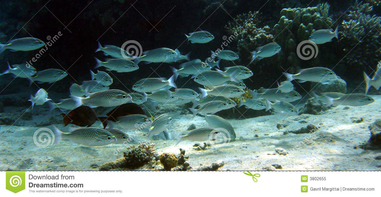 Silvery fish school royalty free stock photo image 3802655 for Fish swimming backwards