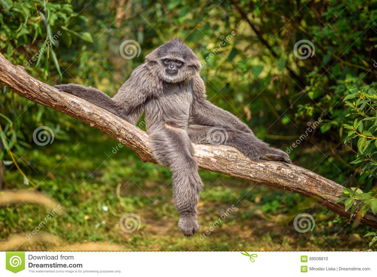 Silvery gibbon hylobates moloch sitting on a branch the silvery gibbon ranks among the most threatened species