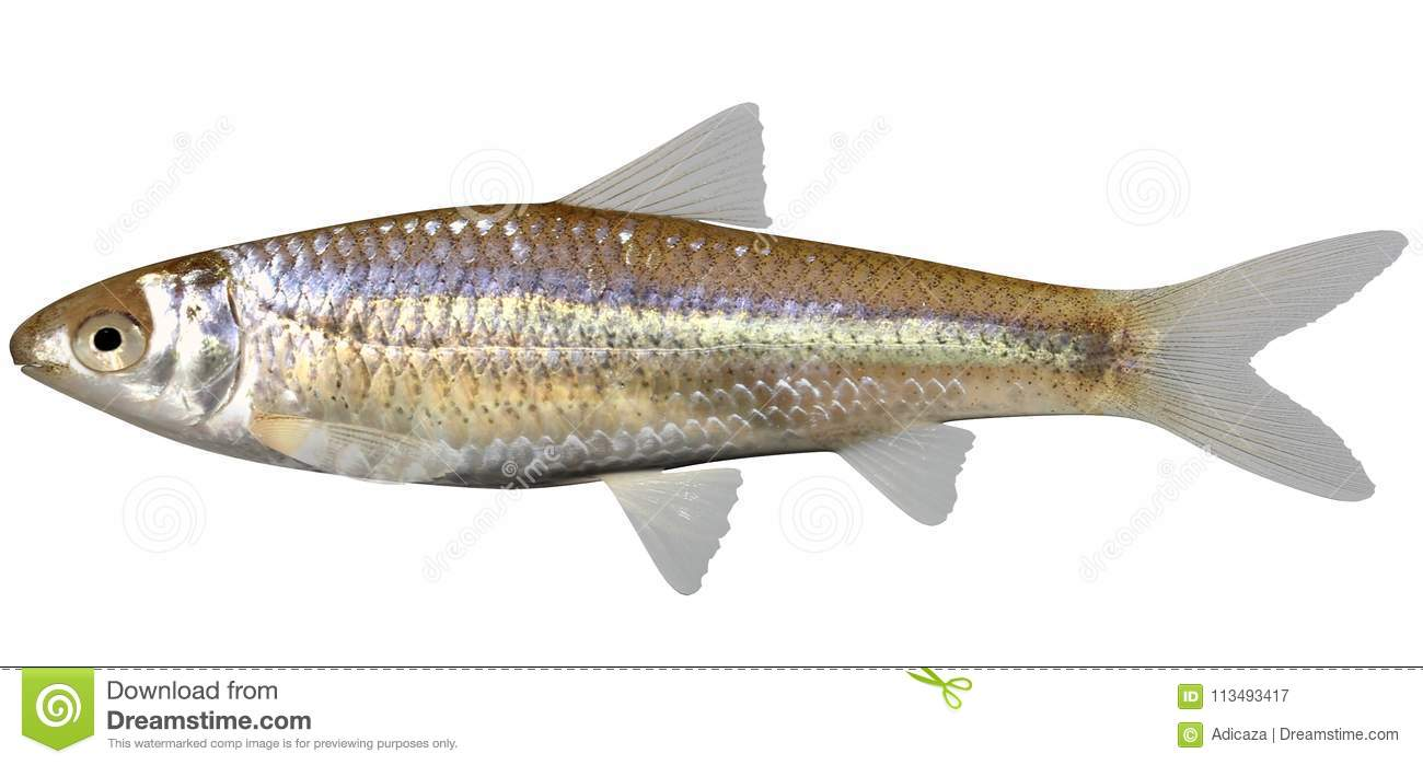 Minnow Cartoons, Illustrations & Vector Stock Images