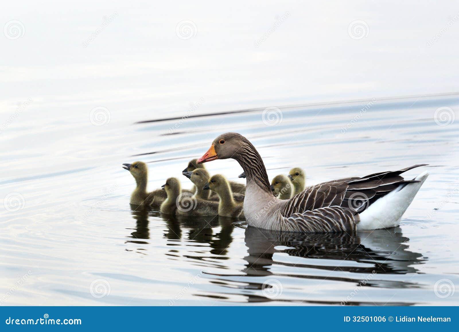 Simning för grågåsgås på sjön