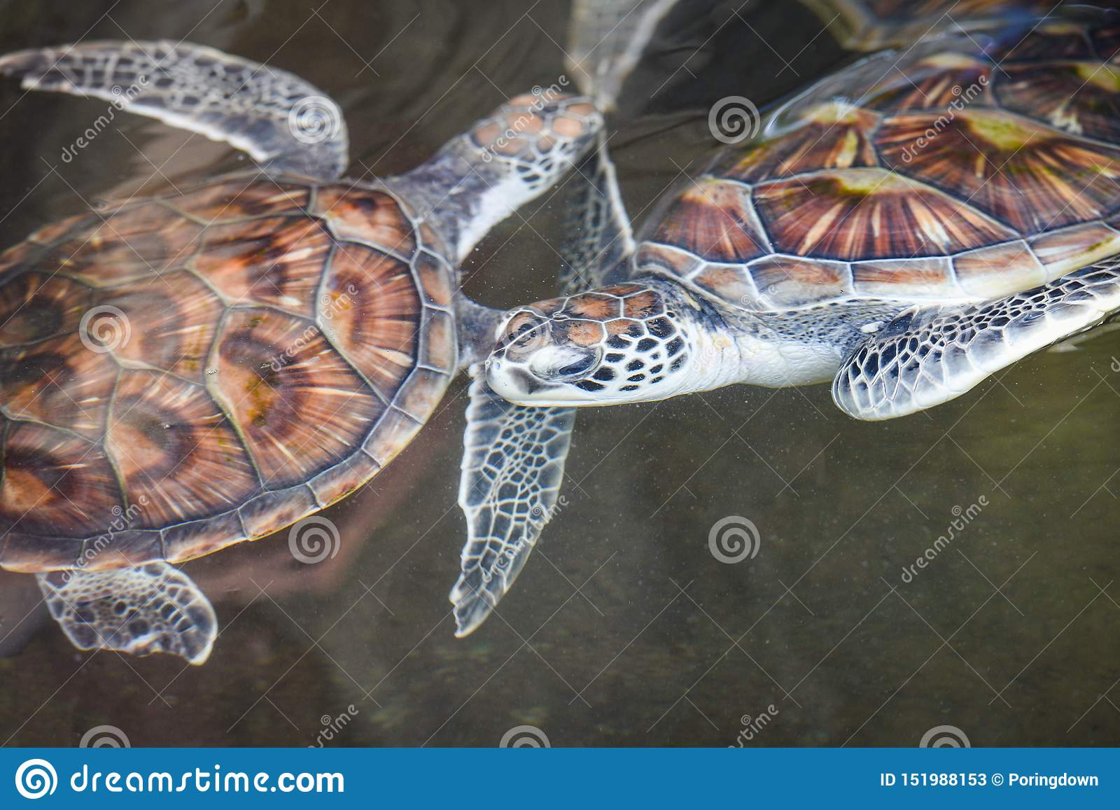 Simning för havssköldpadda/för grön sköldpadda på lantgård för vattendamm