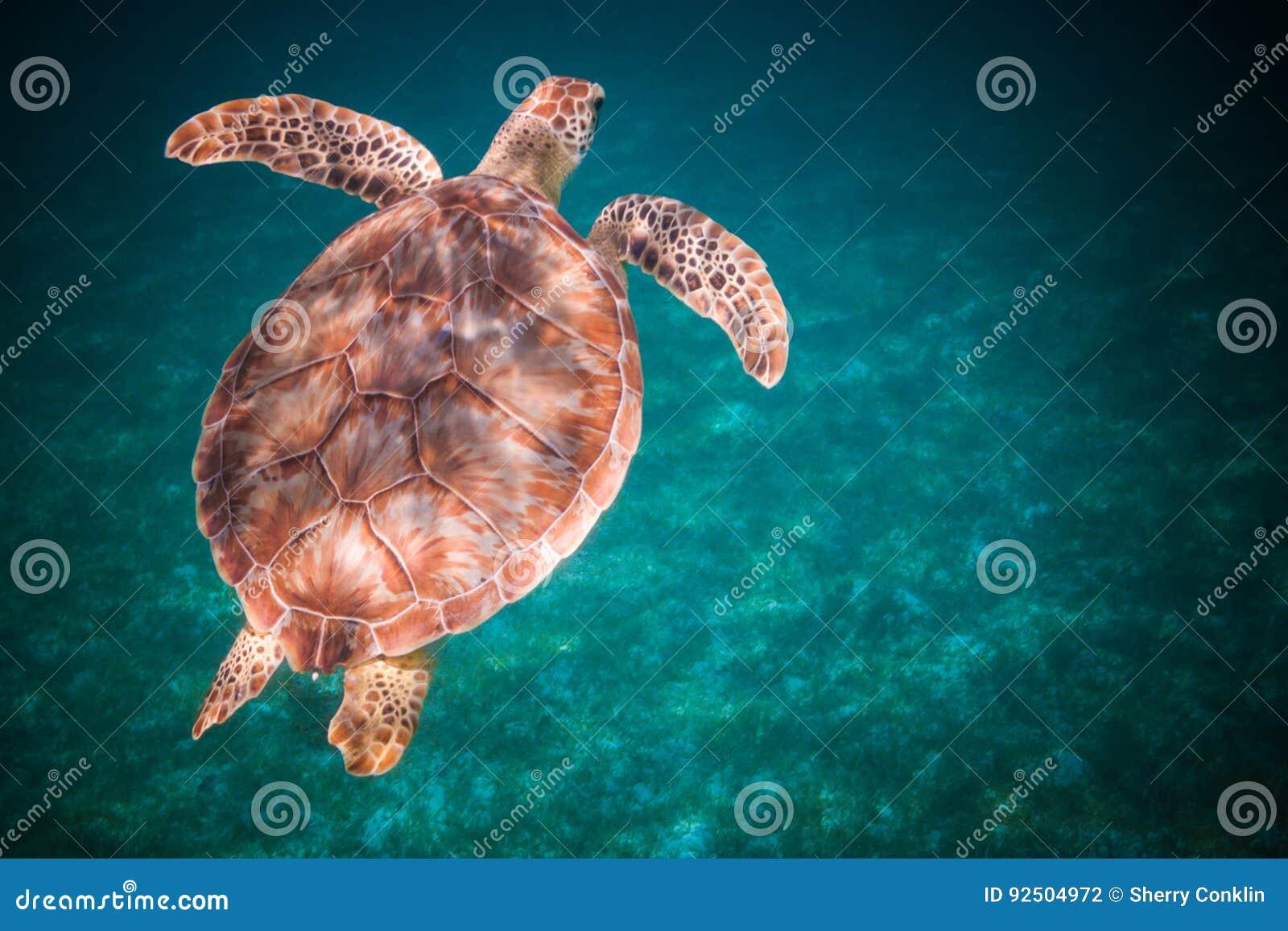 Simning för havssköldpadda i hamn av St John, Jungfruöarna