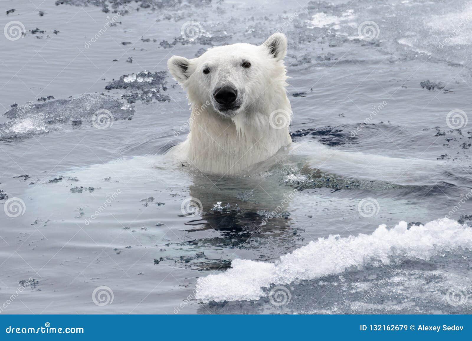 Simning för isbjörnUrsusmaritimus i det arktiska havet