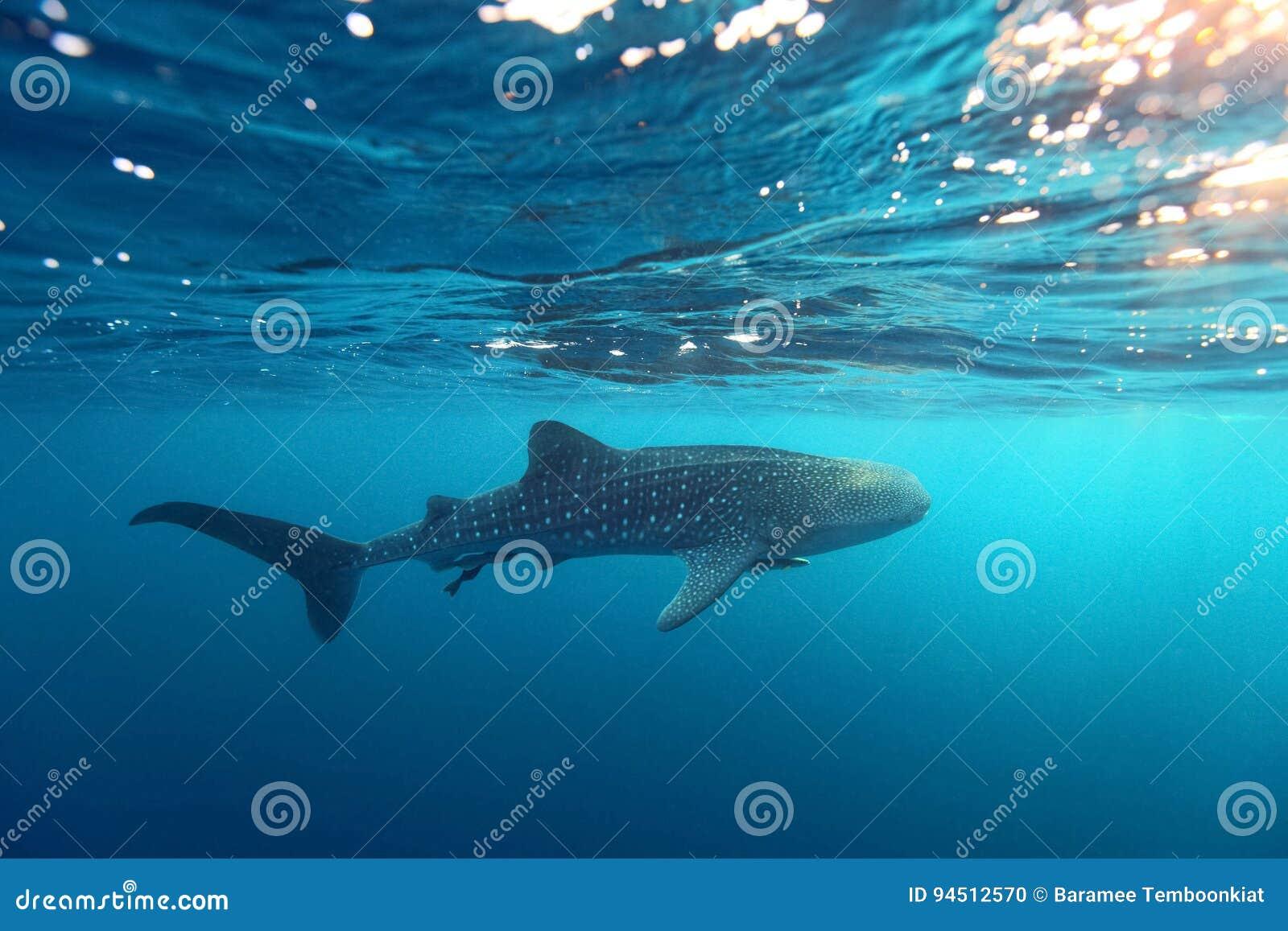Simning för typus för Rhincodon för valhaj på kristallklara blått w