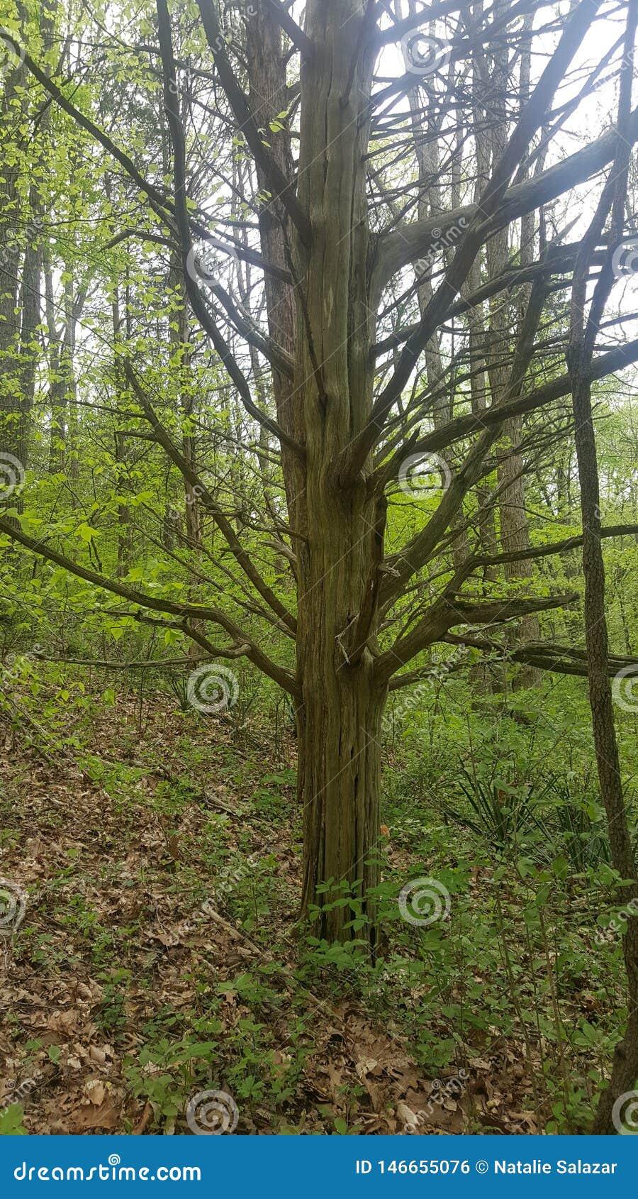 Simple leafless tree