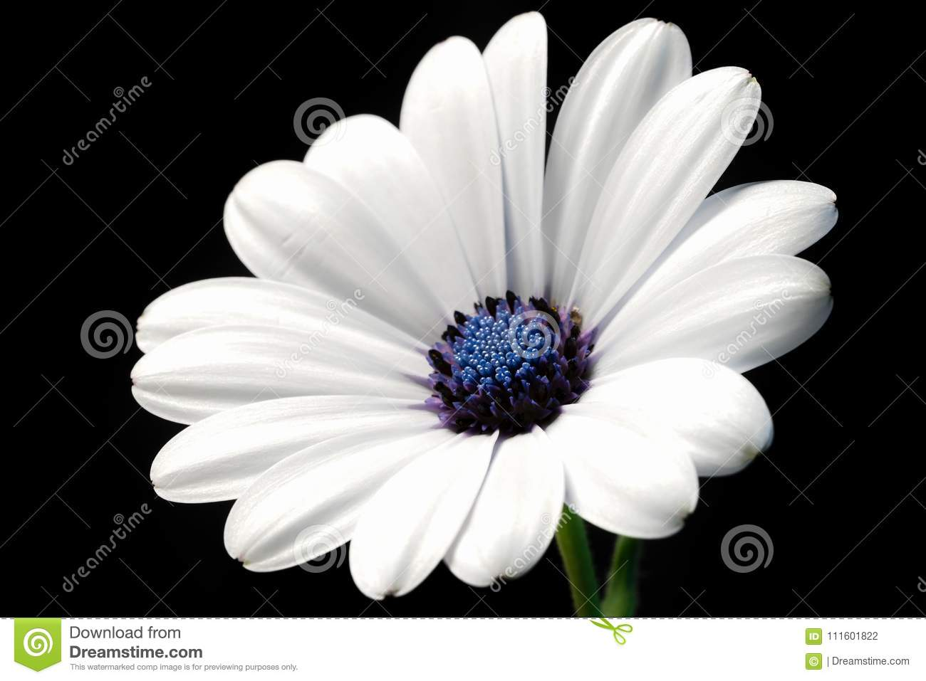 Simple light clean white flower black background stock photo image simple light clean white flower black background mightylinksfo