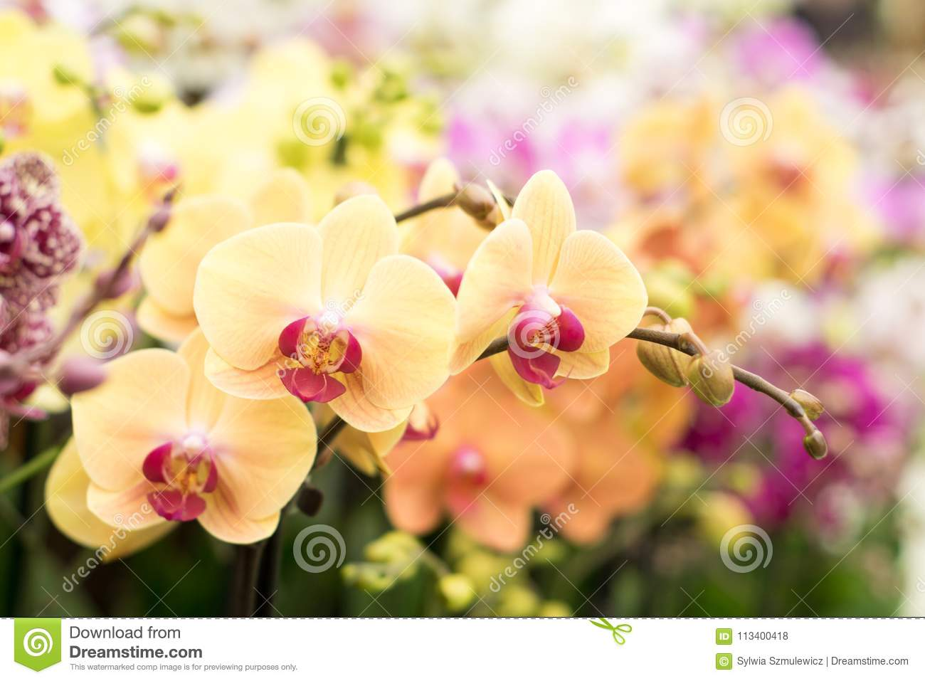 Simple And Popular Type Of Orchid In Peach And Pink Colour Stock