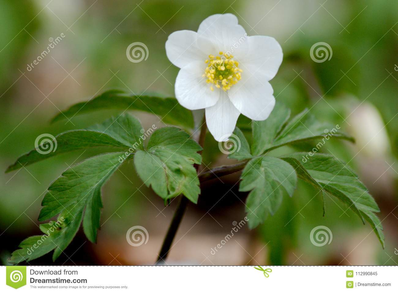 The simple purity of a Wood Anemone appears on a woodland floor in a Spring day