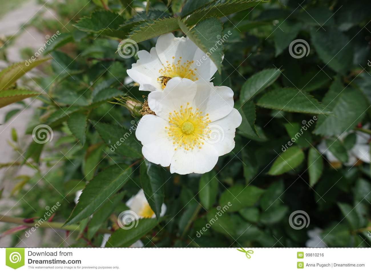 Simple White Flowers Of Rose Stock Photo Image Of Leaflets Cream
