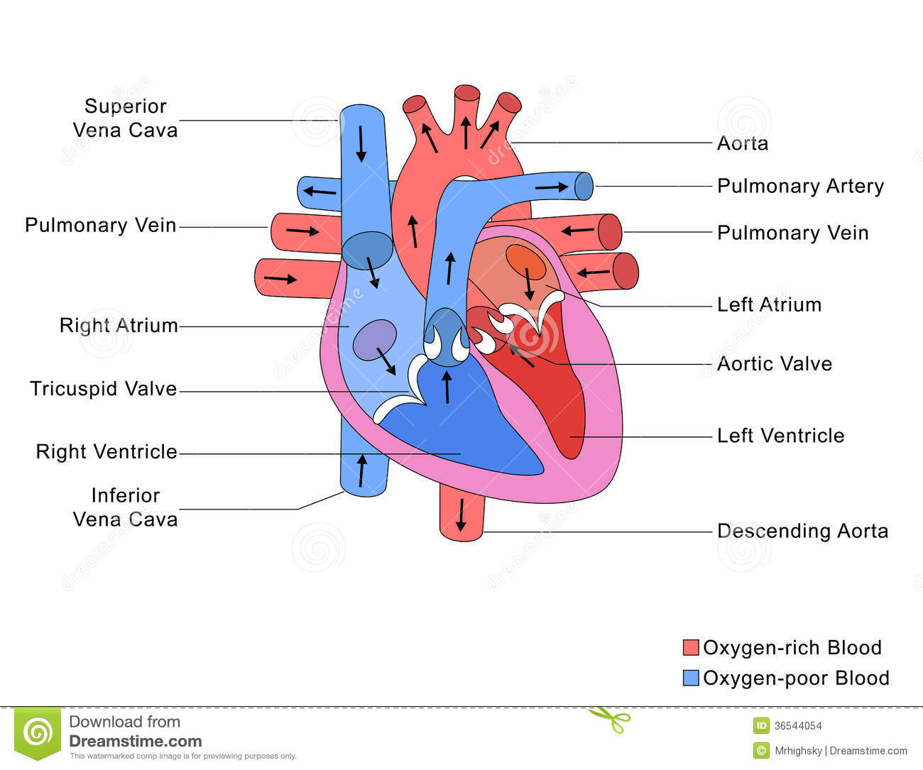 Know the Structures and Functions about Your Heart