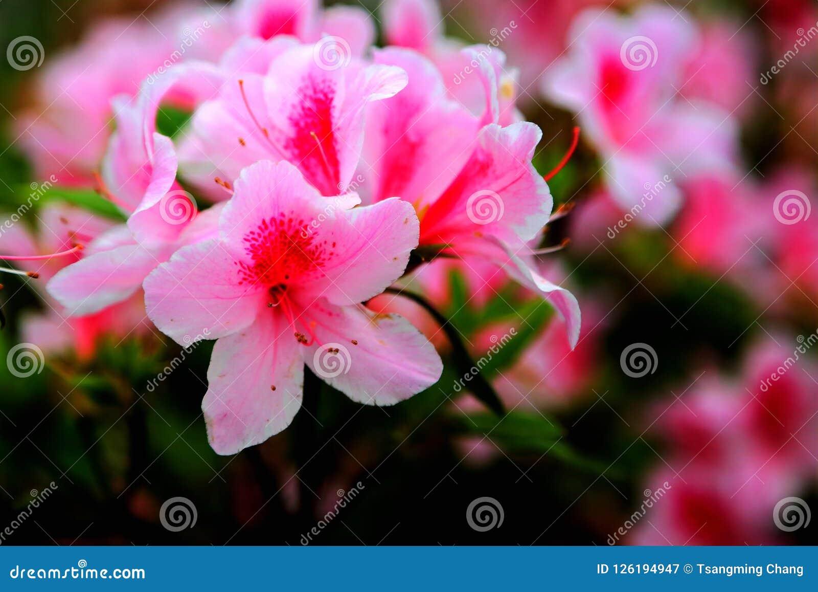 Simsii Planch de rhododendron