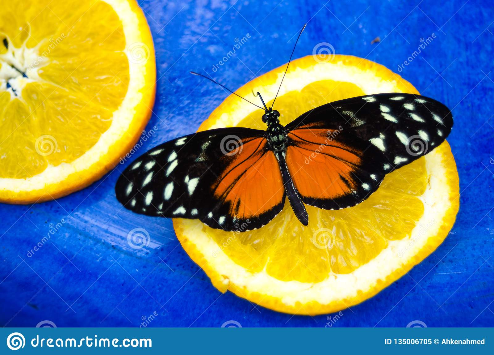 Sinaasappel en zwarte, de vlinder van Tiger Longwing Heliconius hecale