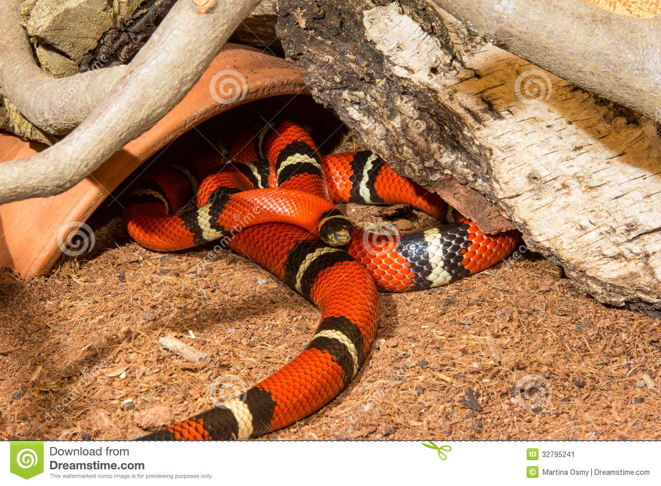 Milk Snake Teeth Sinaloan milk snakeMilk Snake Teeth