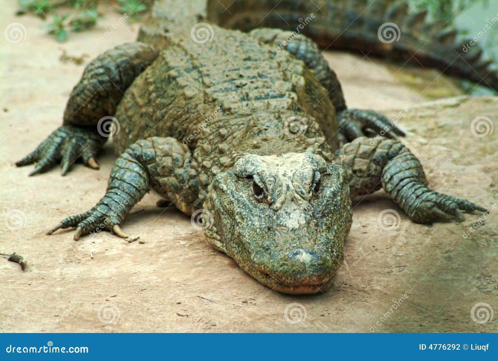 Sinensis del coccodrillo