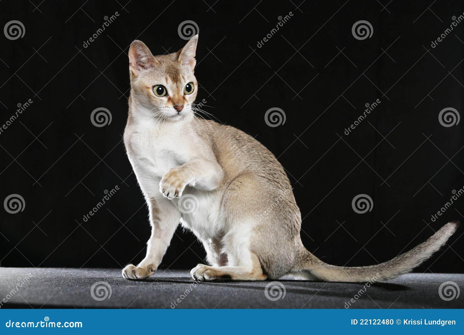 Singapura кота