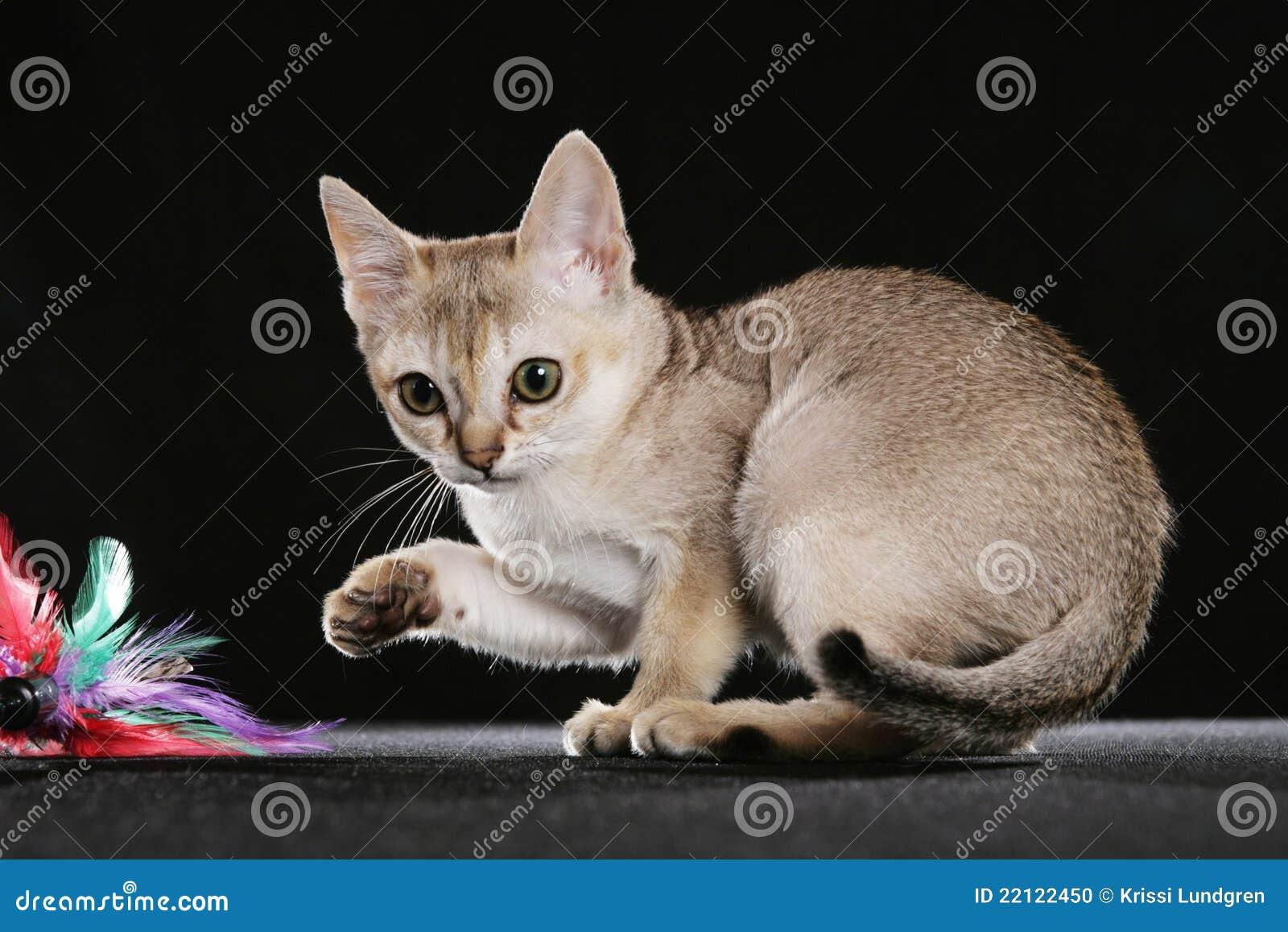 Singapura Kätzchen