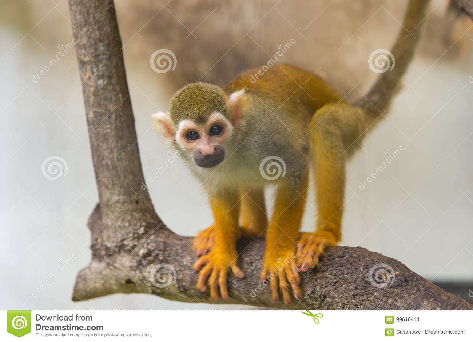 Singe-écureuil commun, sciureus de Saimiri sur l arbre dans le zoo
